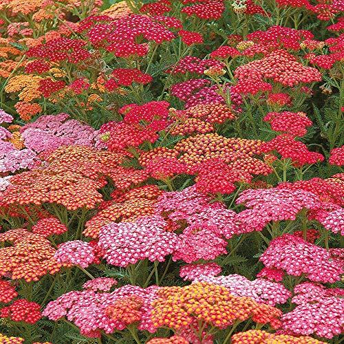 Derlam Samenhaus-50 Pcs Schafgarbe Gemeine Mix Blumensamen Mischung mehrjährig winterhart exotische Samen für Balkon Garten