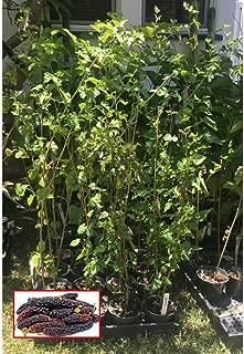 Pakistan Long Mulberry Tree Morus Nigra Not Dwarf - 2'-3' Tall Plant SD6