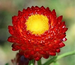 strawflower fireball