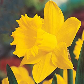 Breck's Colossal Daffodil Spring Flowering Bulbs - The Biggest, Brightest Yellow Daffodil Ever Developed! 10 Bulbs Measuring 15 to 17 cm per Order