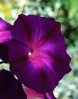 Asklepios-Seeds | 250 Seeds Ipomoea purpurea Kniola Black, Morning Glory Kniolas, Knowlian´s Black Knight