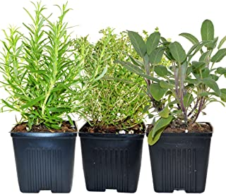 Stargazer Perennials Organic Chefs Herb Plant Collection Thyme, Sage, Rosemary 3 Live Plants Herb Kits Organic Grown Herbs All Non-GMO Fresh Herbs