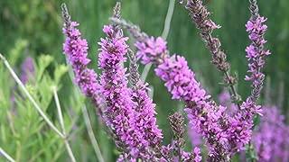 600 Seeds Loosestrife Purple Lythrum Salicaria Rosy Gem Flowers Garden tksap