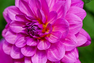 Karma Lagoon Decorative Dahlia - Violet/Bright Pink - 1 Top Size Root Clump#hgs1009