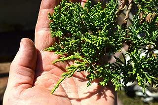 San Jose Juniper - 10 Live Plants - Juniperus Chinensis - Drought Tolerant Cold Hardy Evergreen Ground Cover