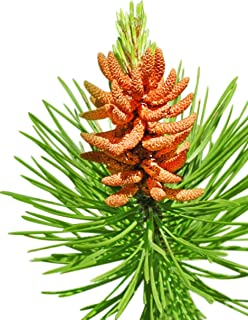 Homegrown Pine Tree Seeds, 100 Seeds, Lodgepole Pine Tree
