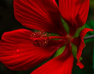 50 + Seeds   Giant Red Texas Star Hibiscus   Hummingbirds Love   Hardy to 6