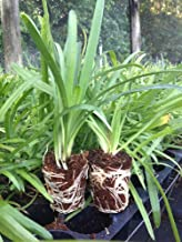 Agapanthus Getty White - 3 Live Bare Root Plants - Blooming Ground Cover