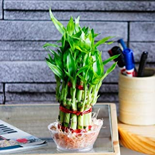 SMZ BRANDLINES;Smart Branding 2 Layer Lucky Bamboo Plant with Pot for Home Decoration
