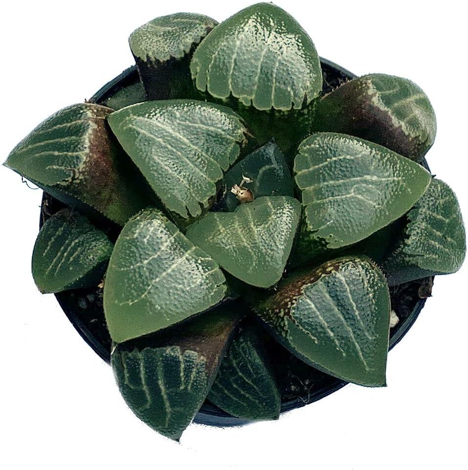 Succulent latest Plant Heartlines Haworthia Emelyae 2