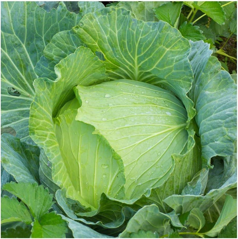 David's Garden Seeds Cabbage Early Jersey Wakefield SAL6632 (Green) 200 Non-GMO, Heirloom Seeds