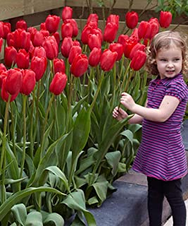 sky high scarlet tulip