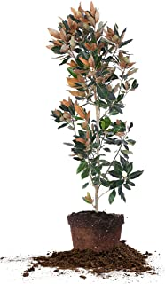 LITTLE GEM MAGNOLIA - Size: 4-5 ft, live plant, includes special blend fertilizer & planting guide