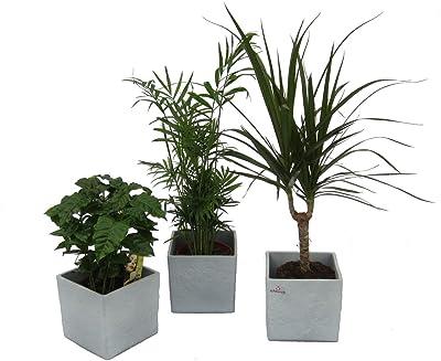 Dominik Blumen und Pflanzen, Pflanzen Africa Trio, Kaffee-Pflanze, Zimmerpalme und Dracena Marginata mit scheurich Würfel grau 3-er Set, mehrfarbig