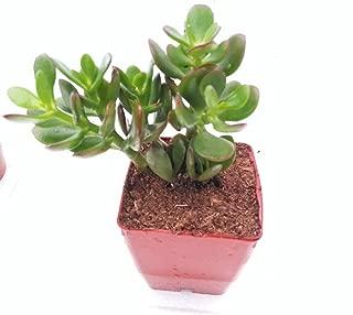 Jade Plant - Crassula Ovuta - Easy to Grow - 2.5