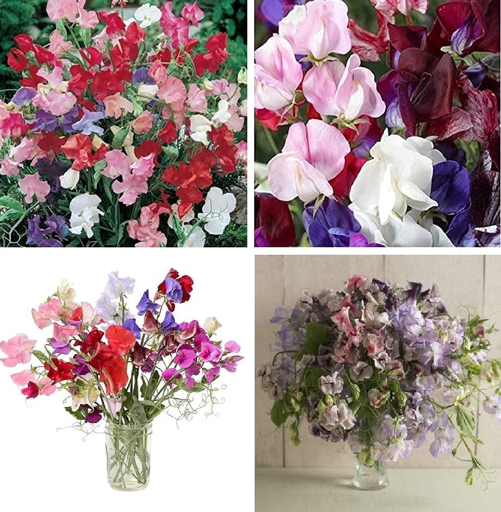David's Garden Seeds Collection Set Sweet 5% OFF Pea Flower Multi 8463 Manufacturer direct delivery