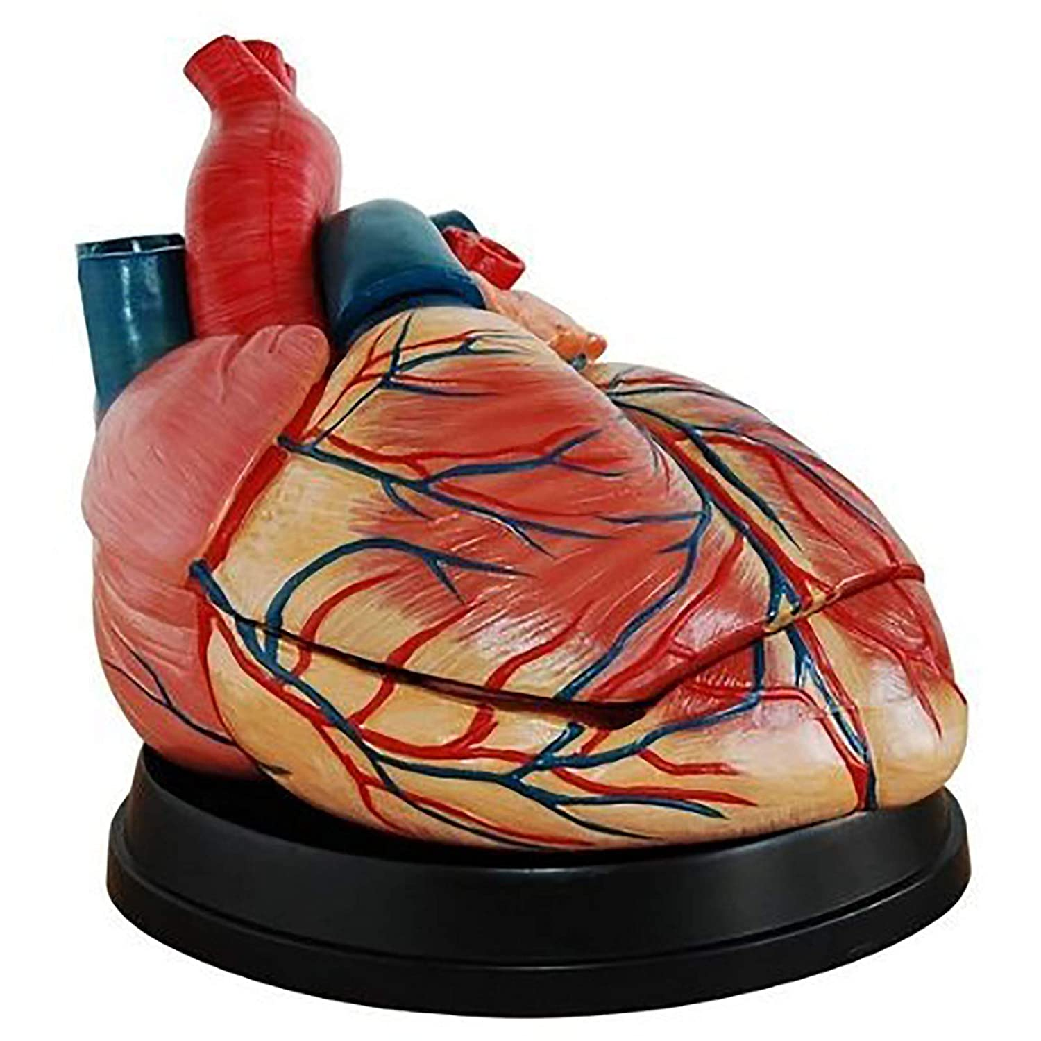 lowest price ZLF 5X Heart Anatomical Model Medical Baltimore Mall for Scienc Suitable