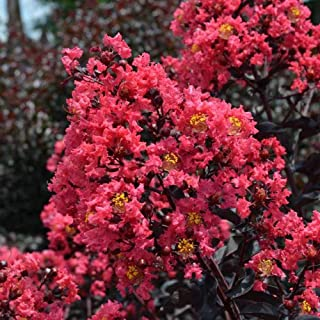 (1 Gallon) Midnight Magic Crape Myrtle- Beautiful Small Tree with Foliage That has a Rich Maroon Color. Can be Made into a Shrub or Tree.