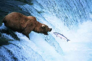 Grizzly Bear Feeds on a Jumping Salmon in Alaska Photo Art Print Cool Huge Large Giant Poster Art 54x36
