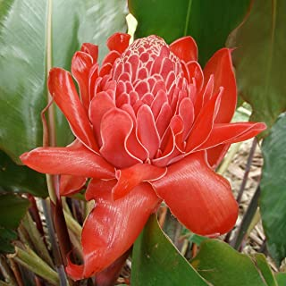 Best red flowering ginger plant Reviews