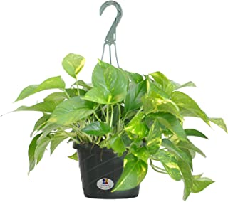 United Nursery Golden Pothos Epipremnum Aureum Devils Ivy Plant Live Indoor Outdoor Houseplant Ships in 8 Inch Hanging Basket 16-19 inches Tall