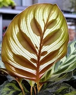 Peacock Plant - Cathedral Windows - Calathea makoyana - Easy House Plant -4