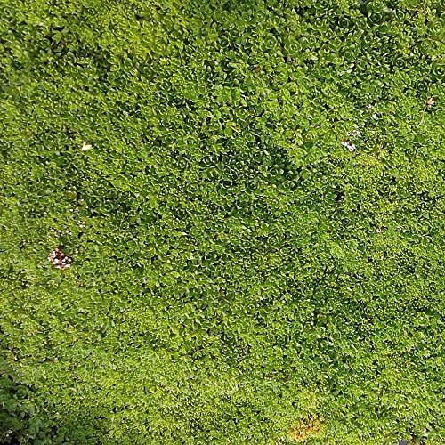 Crassula exilis 'Sedifolia' - Plante grasse couvre-sol