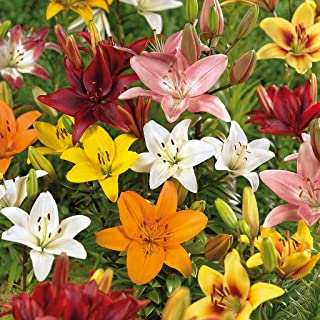 Van Zyverden Lilies Asiatic Mixed Set of 12 Bulbs