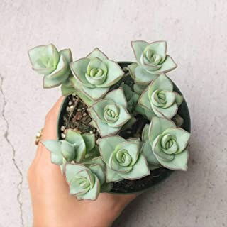 1 Ivory Towers Crassula Conjuncta Crassula Silvery-White (4