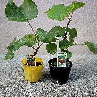 美味しいキウイの苗木 雌木2本セット【品種で選べる果樹苗/雌木のみ2本見計らいセット】(※品種のご指定はできません。状態の良い苗木の見計らいになります。品種例:ヘイワード、スーパーゴールド)メス木のみです。1本で結実しませんので、受粉樹としてオ...