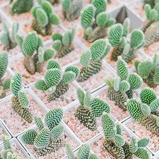 LEANO 100Pcs Mini Cactus Flower Seeds (Astrophytum) Rare Succulent Plants Seeds Garden Flowers