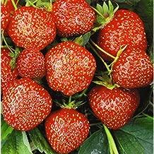 Amazon.es: semillas fresas
