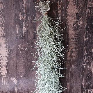 エアープランツ チランジア ウスネオイデス Rサイズ【長さ約75cm Rサイズ/1個】T.usneoides. 品種で選べるエアプランツ!初心者にも育てやすく、リビングやオフィスのインテリアに!【造花ではありません。生きているエアープランツです...