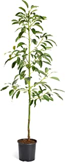 Brighter Blooms - HASS Avocado Tree - Indoor/Outdoor Potted Fruit Tree, 5-6 Feet - No Shipping to AZ