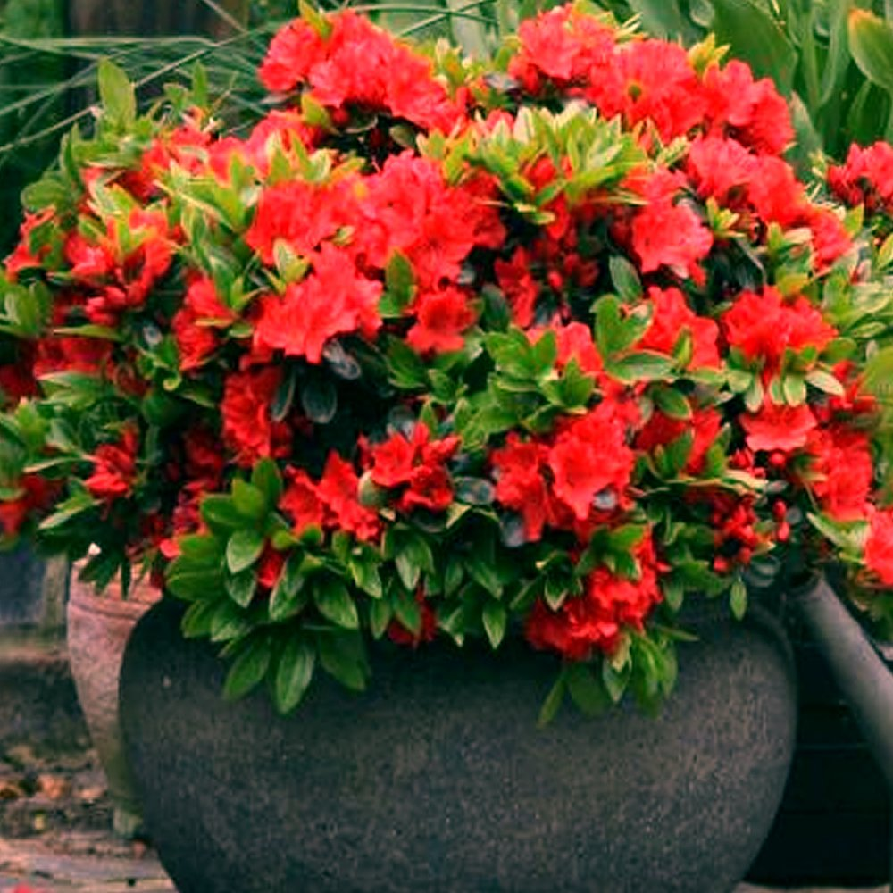 Amazon UK & Shrubs for Outdoor Pots: Amazon.co.uk