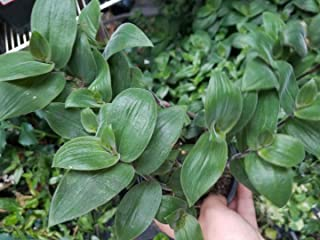 CROSO HIGH Germination Seeds ONLY NOT Plants: Tradescantia 'Baby Bunny Bellies' ering Jew Seed houseSeed
