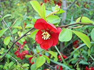HOT - Japanese Quince - 30 Seeds - Chaenomeles Japonica - Bonsai Seeds Indoor Outdoor