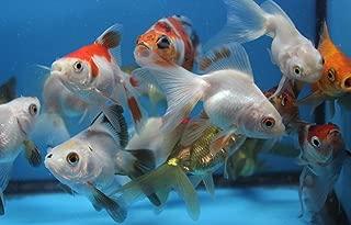 ryukin 5 Pack Live sm. Mixed Goldfish for Aquarium Fish Tank or Pond