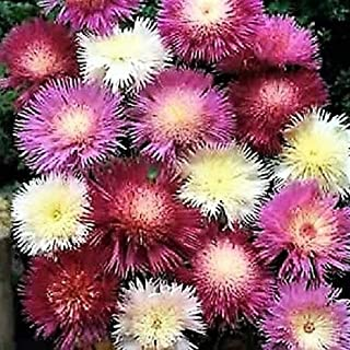 500 Pcs Sweet Sultan Imperialis Mixture Flower Seeds #SSNH