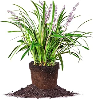 Perfect Plants Variegated Liriope Live Plant, 1 Gallon, Includes Care Guide