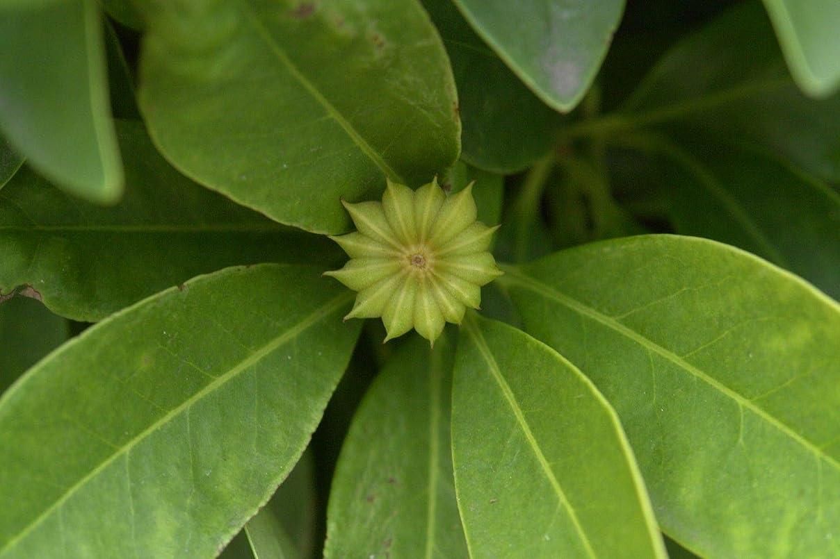 眉をひそめる流すメンテナンス種子パッケージ:イエローアニス誘引突起パルビフロラム10本の小枝挿し木