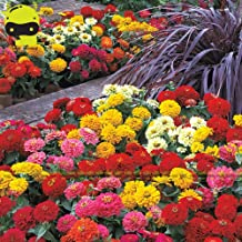 Seeds Plant Seeds Flowers Magellan Mix Zinnia Flower Seeds, 100 Seeds/Pack, Ultra-Bright Full Double Blooms Zinnia elegans Seed Biennial Dwarf Plants