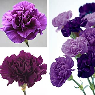 Narutosak 100Pcs Purple Carnation Dianthus Caryophyllus Flower Seeds Home Garden Decor