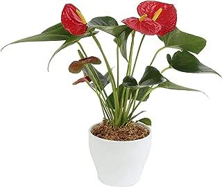 Best indoor blooming plants Reviews