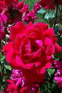 rose bush double knockout