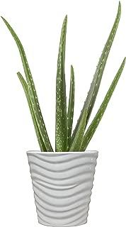 Costa Farms Aloe Vera Live Indoor House Plant, 10-Inch, White Planter