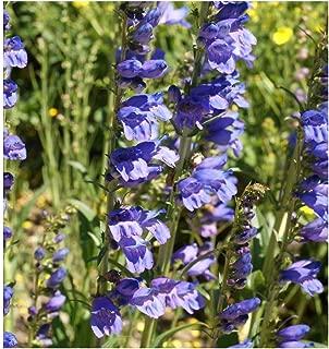 Best penstemon flower seeds Reviews