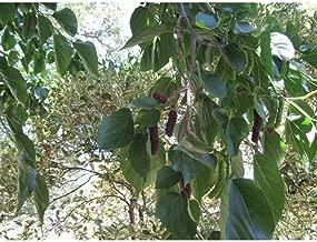 Mulberry Tree 'Pakistan' Morus Macroura Live Plant Edible Fruit These 4-5