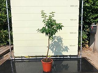 Limoenboom 160 cm