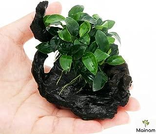Mainam Anubias Nana Petite on Nano Driftwood Freshwater Live Aquarium Plants Decorations